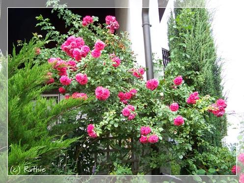 Rosarium Uetersen, 2. Blüte im August