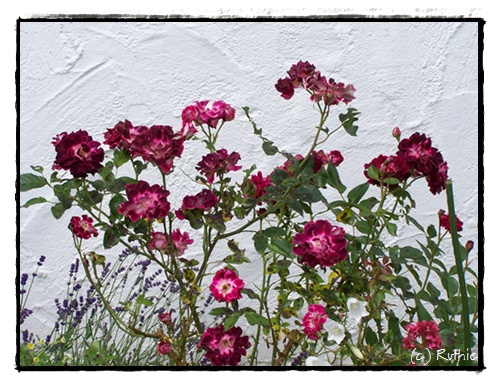 Rotweiße Rose